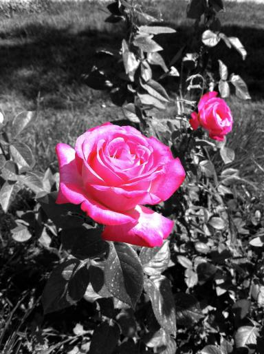 ColorSpalsh Rose